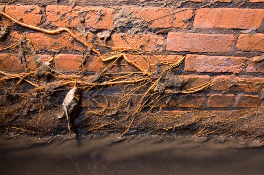 Smaller roots that were determined to find their way to water through the brickwork.